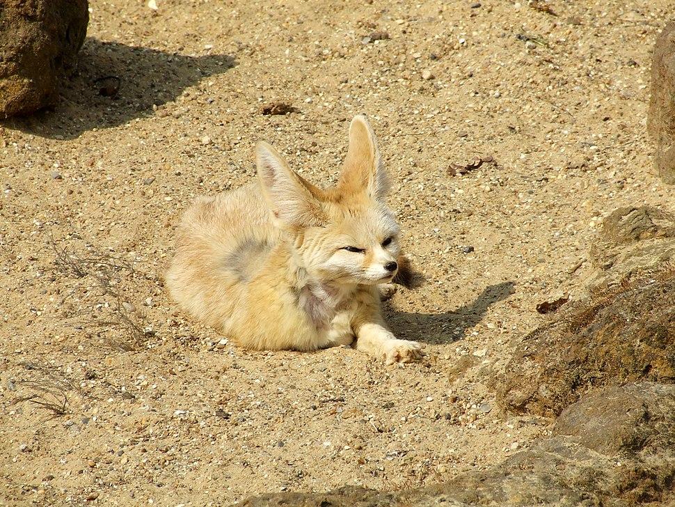 Fennec Fox @ Africa Alive, Lowestoft 3