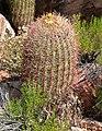 Ferocactus cylindraceus 3.jpg