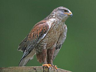 Ferruginous hawk - Light-morph in captivity