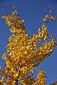 Feuilles d'or au bleu (22482757539).jpg