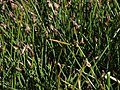 Fewflower spikerush, Eleocharis quinqueflora (16718881753).jpg