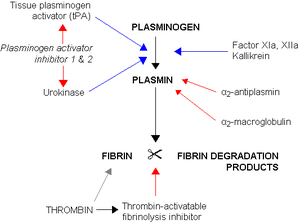 Plasmin - Fibrinolysis (simplified). Blue arrows denote stimulation, and red arrows inhibition.