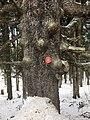 Fichte, Freiwilliges Naturdenkmal, Hebalm.jpg