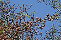 Ficus fruits JEG1874.jpg