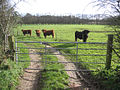 Fierce-looking cattle, Dilham, Norfolk - geograph.org.uk - 319594.jpg