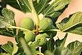 Fig Tree (5967272441).jpg
