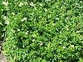 Filipendula ulmaria european meadowsweet.JPG