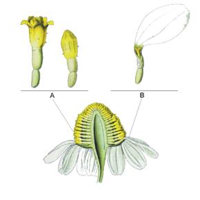 Sezione longitudinale di una infiorescenza di Matricaria chamomilla A. Flosculi tubulosi B. Flosculo ligulato