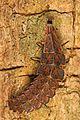 Firefly larva (species unknown), Leesylvania State Park, Woodbridge, Virginia.jpg