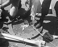 Fish caught for sampling displayed on the deck of a ship, Bikini Atoll, summer 1947 (DONALDSON 252).jpeg