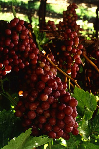Flame Seedless - Flame Seedless grapes