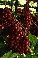 Flame seedless grapes.jpg