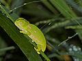 Flap-neck Chameleon (Chamaeleo dilepis) hatchling sleeping (13877145775).jpg