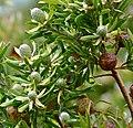Flats Conebush (Leucadendron floridum) (32124811324).jpg