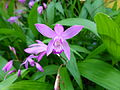 Fleur du jardin Albert Kahn 2.JPG