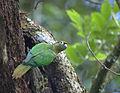Flickr - Dario Sanches - TIRIBA-DE-TESTA-VERMELHA ( Pyrrhura frontalis) (4).jpg