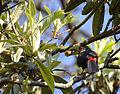 Flickr - Dario Sanches - TUCANO-DE-BICO-VERDE (Ramphastos dicolorus) (3).jpg