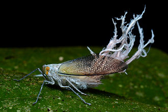 Planthopper - planthopper (Pterodictya reticularis) with abdominal filaments of ketoester wax