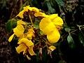 Flor de planta herbácea nativa do cerrado..jpg