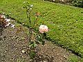 Floribunda - Cherish 013 (b).JPG