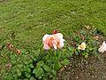 Floribunda - Ma Perkins 09 (b).JPG