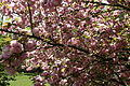Flowering-spring-tree - West Virginia - ForestWander.jpg