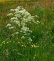 Fluitenkruid (Anthriscus sylvestris) in bloemenweide. Locatie, Natuurterrein De Famberhorst 01.jpg