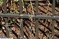 Foeniculum vulgare Purpureum 5zz.jpg