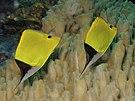 Forcipiger flavissimus Yellow Longnose Butterflyfish Papua New Guinea by Nick Hobgood.jpg