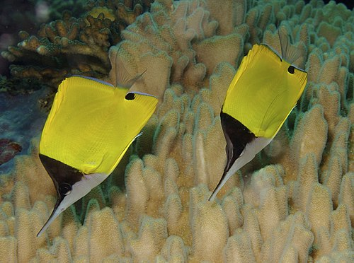 Forcipiger flavissimus Yellow Longnose Butterflyfish Papua New Guinea by Nick Hobgood.jpg