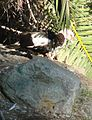 Ford Park, Muscovy Duck, Redlands, CA 7-12 (7747348288).jpg