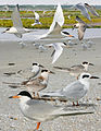 Forsters Tern From The Crossley ID Guide Eastern Birds.jpg