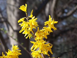 Deciduous - Like a number of other deciduous plants, Forsythia flowers during the leafless season