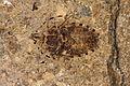 Fossil Hemiptera.JPG