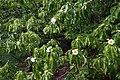 Franklinia alatamaha (Franklin Tree) (36261306500).jpg