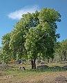 Fraxinus-angustifolia-20190413a.jpg