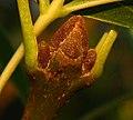 Fraxinus angustifolia. Fresnu de fueya estrencho (guañu).jpg