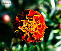 French Marigold - Flickr - Swami Stream (1).jpg