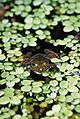 Frog at Witches Falls Cottages (3883884748).jpg
