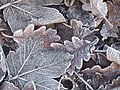 Frosted leaves - geograph.org.uk - 1074839.jpg