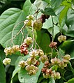 Fruit I IMG 9205.jpg
