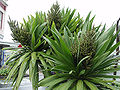Fruit panicles of Cordyline obtecta Three Kings form.jpg