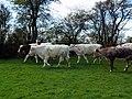 GOC Willian & Weston Hills 055 Cattle (20864598985).jpg
