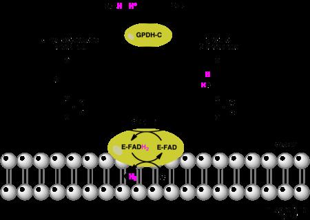 Triose Phosphate Isomerase