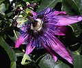 GWH Purple Passion Flower2.JPG
