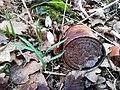 Galanthus nivalis and waste in Gadki.jpg
