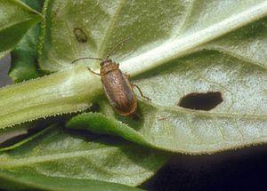 Galerucella calmariensis - Image: Galerucella calmariensis