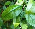 Garcinia gerrardii, loof, Water Sisulu NBT, a.jpg