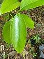 Garcinia gummi-gutta, Malabar Tamarind, kudambuli. from Ezhupunna .jpg