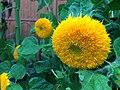 Garden (28789759492).jpg